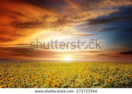 beautiful sunset over sunflowers field - stock photo