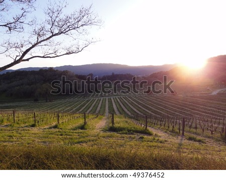Beautiful sunset over the vineyard in Napa Valley, in Northern California - stock photo
