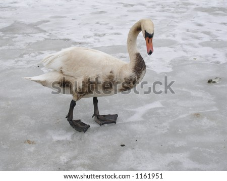 Beautiful swan covered with oil from tanker accident - stock photo