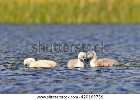 Beautiful swan cubs at the pond. - stock photo