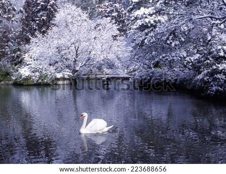 Beautiful swan lake in winter scene. - stock photo