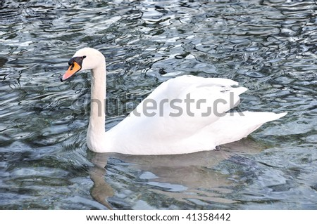Beautiful swan on the lake - stock photo