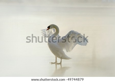 Beautiful swan standing on frozen lake and stretching out its wings.