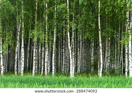 Beautiful Swedish summer landscape with grove of birch trees with white and black trunks and deep green leaves - stock photo