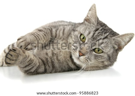 Beautiful tabby composedly lies, insulated on white background. - stock photo