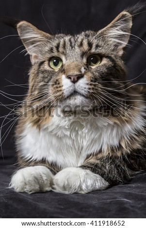 Beautiful tabby Maine Coon cat with white spots on a black veil background. - stock photo