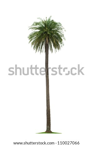 beautiful tall coconut palm tree isolated on white background - stock photo
