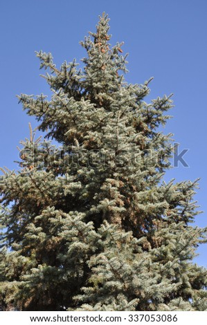 Beautiful tall pine tree isolated on blue sky background - stock photo