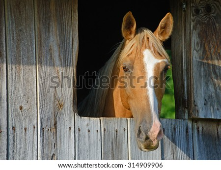 Beautiful tan horse looking through a window at the camera. - stock photo