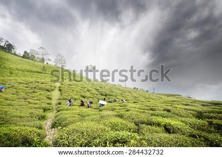 Beautiful temi tea garden at Namchi,ravangla,sikkim   - stock photo