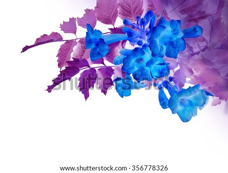 Beautiful tender fresh vivid ultramarine adenium with lilac color foliage isolated on white backdrop. Campsis radicans, trumpet creeper, Bignoniaceae. Close-up view with space for text on light sky - stock photo