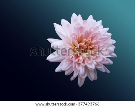 Beautiful tender pink chrysanthemum/Beautiful tender pink chrysanthemum/Beautiful tender pink chrysanthemum - stock photo