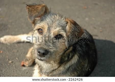 beautiful terrier - stock photo