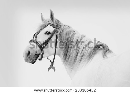 Beautiful Tersk stallion, black and white photo - stock photo