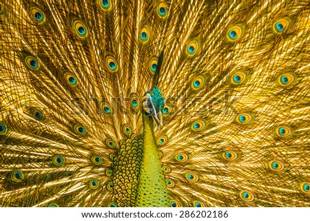 Beautiful Thai golden peacock with close up view. Peacock is the symbol of elegance and gorgeouse. You can apply for website decor,background,backdrop,wallpaper and artwork design.  - stock photo