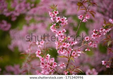 Beautiful thailand's cherry blossom, Chiang Mai, Thailand - stock photo