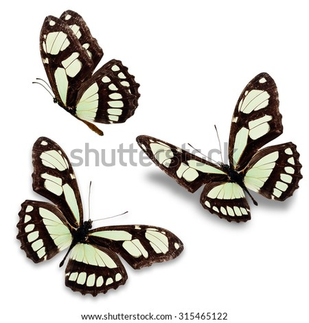 Beautiful Three Black and white butterfly isolated on white background. - stock photo