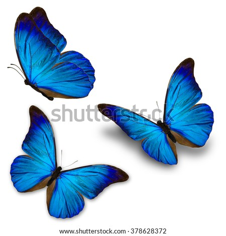 Beautiful three blue butterfly flying, isolated on white background - stock photo
