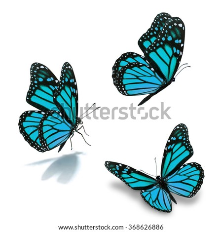 Beautiful three blue monarch butterfly, isolated on white background - stock photo