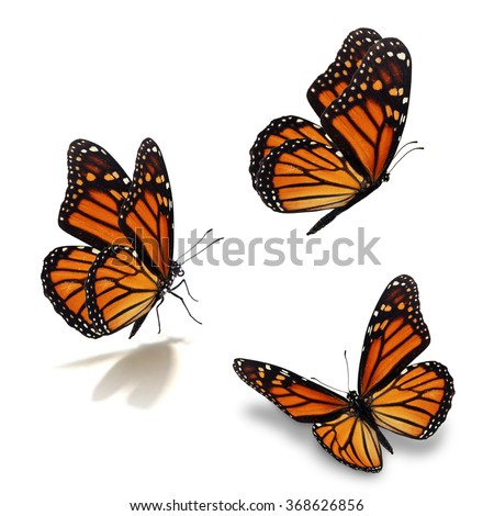 Beautiful three monarch butterfly, isolated on white background - stock photo