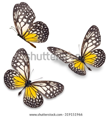 Beautiful Three yellow and white butterfly isolated on white background.