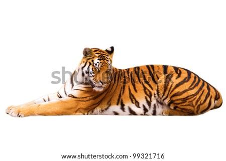 Beautiful tiger cub - isolated on white background - stock photo