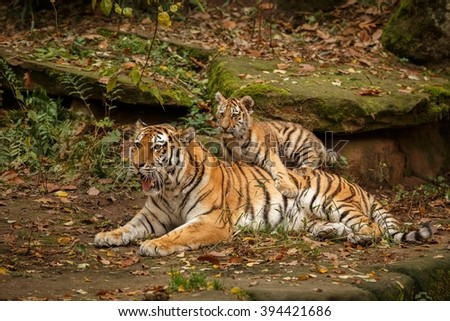 Beautiful tiger family are resting/captive cat in zoo/Nurnberg in Germany - stock photo