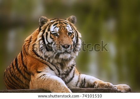 Beautiful tiger relaxing on warm day