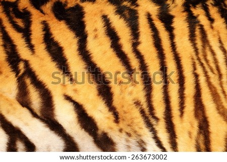 beautiful tiger textured fur, stripes on animal  pelt - stock photo