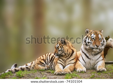 Beautiful tigress relaxing on grassy hill with cub