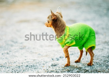Beautiful Tiny Chihuahua Dog Dressed Up In Outfit, Staying Outdoor In Spring - stock photo