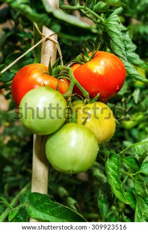 Beautiful tomatoes in the summer garden, natural concept - stock photo