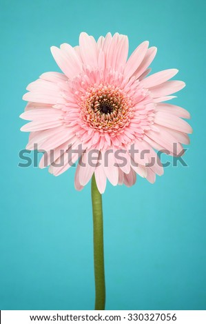 Beautiful Transvaal daisy on background vintage style