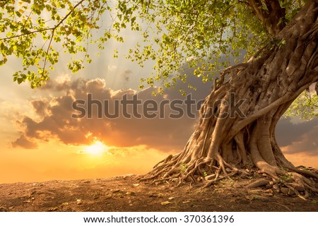 Beautiful tree at sunset vibrant orange with free copy space. - stock photo