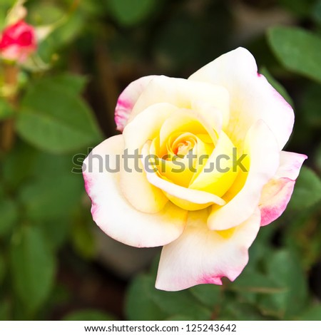 Beautiful Tri-color roses in garden - stock photo