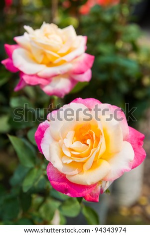 Beautiful Tri-color roses on tree - stock photo