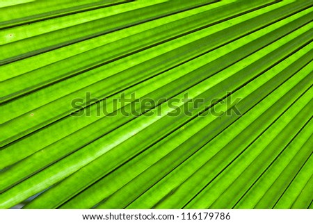 Beautiful tropical palm leaf backlit with sunlight shining through - stock photo