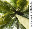 Beautiful tropical palm tree with coconuts. Bottom - stock photo