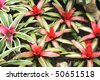 Beautiful Tropical Plant - Bromelia - stock photo