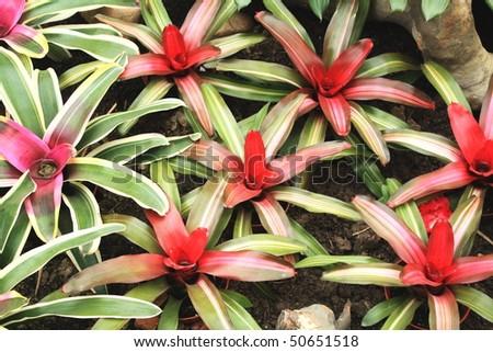 Beautiful Tropical Plant - Bromelia - stock photo