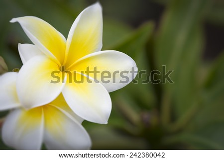 Beautiful Tropical Plumeria Flowers on The Branch. - stock photo