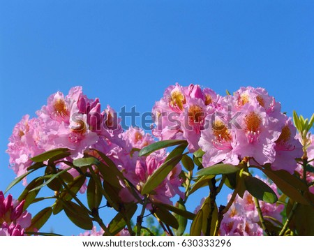red violet rhododendron stock images, royaltyfree images, Beautiful flower