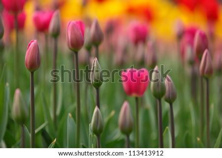 Beautiful tulip bud and flowers. - stock photo
