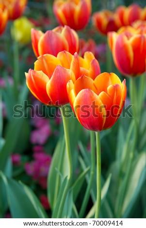beautiful tulip flower - stock photo
