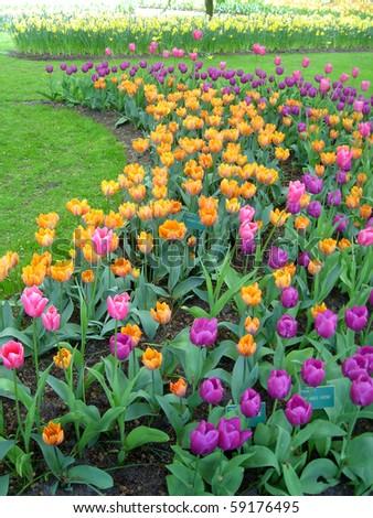 Beautiful tulips at Keukenhof Gardens, Holland - stock photo