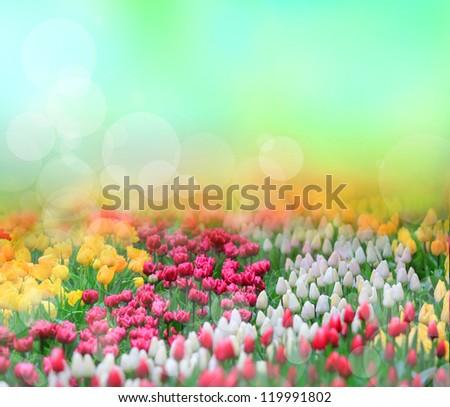 Beautiful tulips background - stock photo