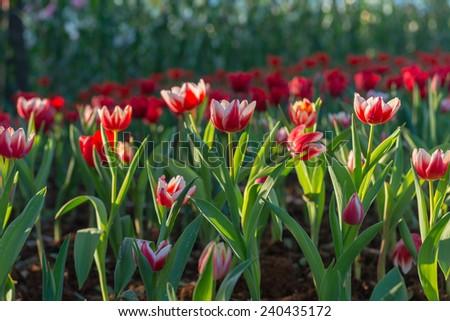 Beautiful tulips field in garden - stock photo