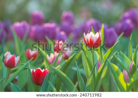 Beautiful tulips field in garden morning - stock photo