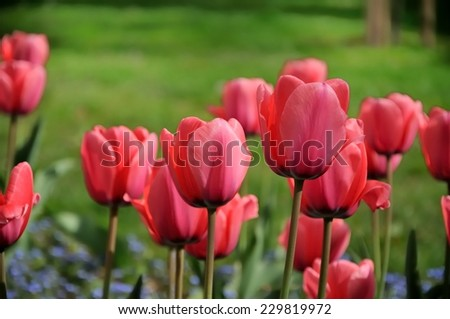 beautiful tulips field in spring time green grass on background - stock photo