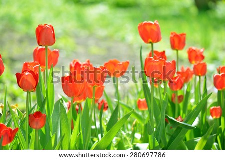 Beautiful tulips field in spring time. Red flowers background of green meadow. - stock photo